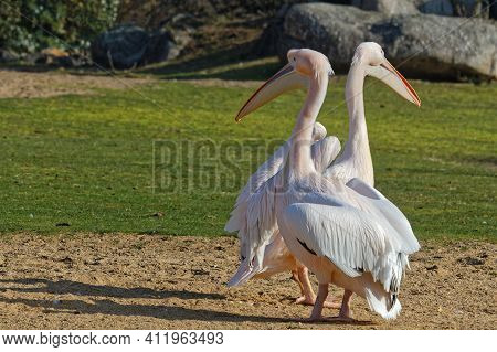 Pelicans In The Morning Light Of Their Pond, Parc De La Tete D'or. Parc De La Tete D'or Is One Of Th