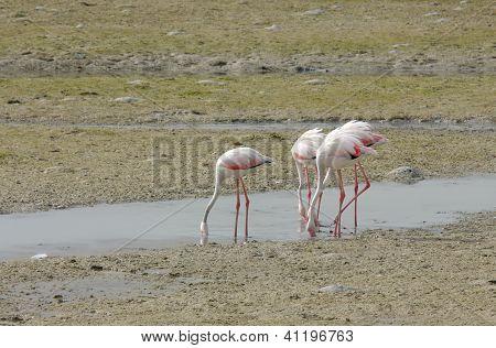 Beautiful Flamingos eating food