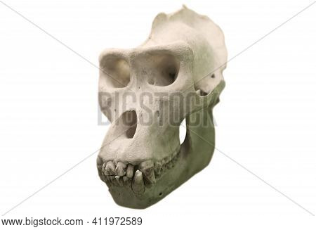 Skull Of A Gorilla Isolated On A White Background.