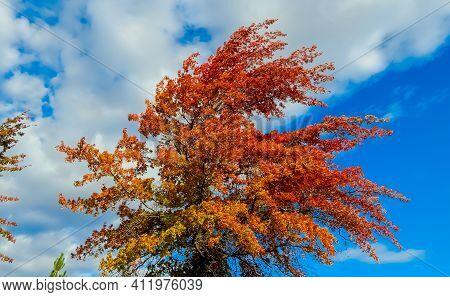Clouds, Sunshine And Color - An October Oak Tree Scene - Redmond, Or