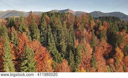 Colorful autumn leaf mountain forest aerial. Nobody nature landscape. Unexplored wildlife scenery. Alpine green spruce, pine trees at pink, red, yellow leafy foliage. Vacation at Alps, Italy, Europe
