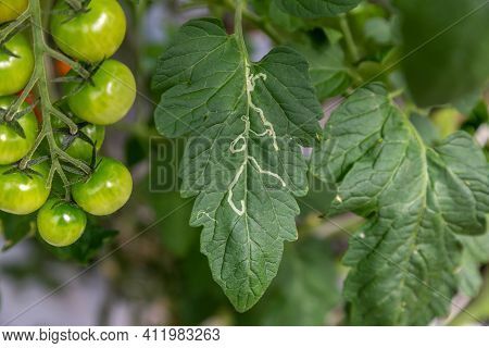 Nightshade Miner On A Tomato Leaf In A Greenhouse