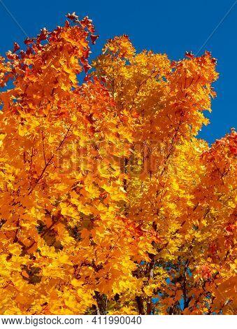Golden Branches - An October Maple Scene - Redmond, Or