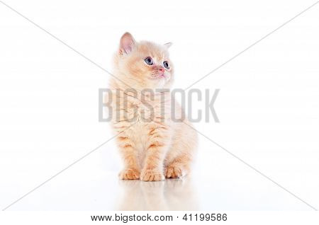 small plush red kitten of exotic breed on a white background poster