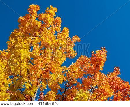 Maple In The Blue - An October Maple Scene - Redmond, Or