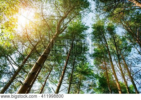 Woods landscape, woods tree tops against blue sky, woods background with green woods pine trees extending to the sky,woods nature,woods landscape scene,woods background with woods trees