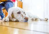dog lying at the wooden floor in the dining room poster