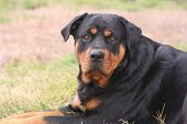 2-year-old female rottweiler, laying calmly. poster