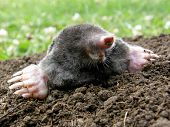 laughing mole crawling out of molehill in summer poster