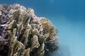 coral reef with great fire coral at the bottom of tropical sea - underwater photo poster