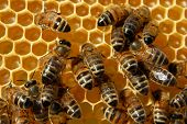 Close-up of bees on honeycomb eating honey poster