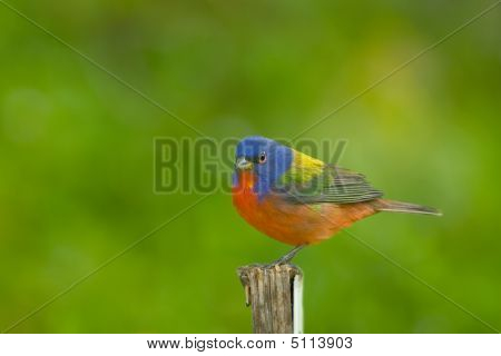 A Painted Bunting Perched On A Stick Near A Fountain