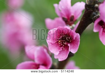 Closeup On Branch With Flowers Of Peach