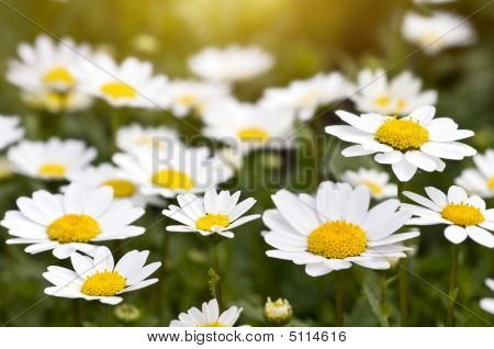 Camomile Field On The Sunset