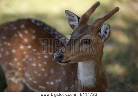 This photo shows a young male Axis deer. It was taken at Fossil Rim Wildlife Center in Glen Rose Texas. poster