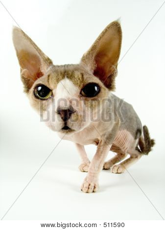 The Canadian Sphynx