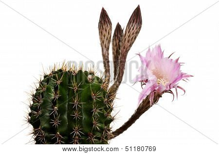 Blooming Cactus With Unsolved Buds