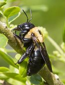 Side profile of a carpenter bee on a branch poster