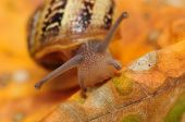 Macro closeup of a snail eating leafs poster