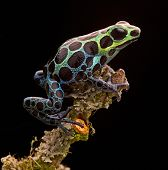 poison arrow frog from tropical Amazon Rainforest in Peru. Beautiful small animal with bright colours. Often kept as a pet animal in a rain forest terrarium. Ranitomeya variabilis poster