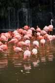 group of red south African flamingo in wild pool poster