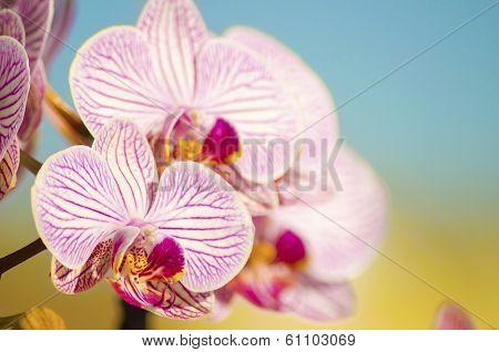 Pink Orchid, Phalaenopsis