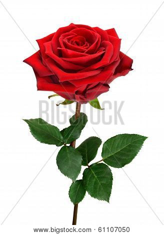 Open Red Rose On White