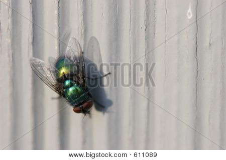 Bottle Fly