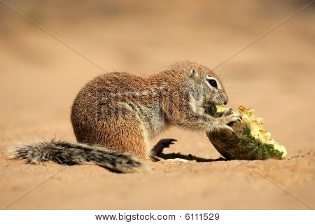Ground Squirrel, Kalahari desert, South Africa