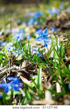 First Spring Flowers In The Forest