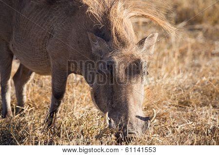 Wart hog in Ngorongoro