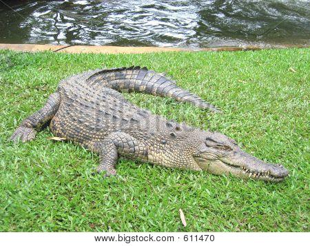 Saltwater Crocodile 12