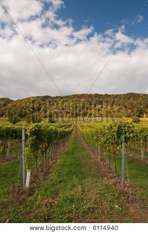 Raws Of Vineyard