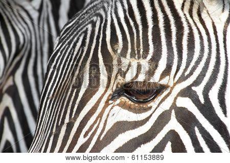 Grevy´s Zebra.