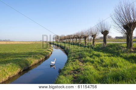 Swans swimming along pollard willows