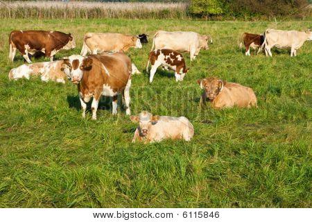 cattle herd on a meadow in sunlight poster