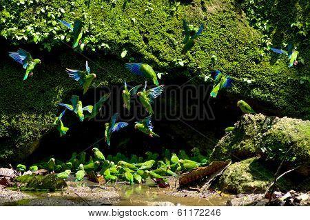 Parakeets in a clay licking cave, Yasuni Ecuador