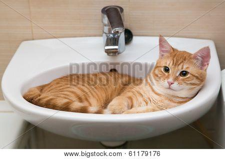 Orange Tabby Cat In Laver