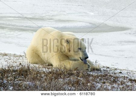 Polar Bear Licking His Paw In Arctic