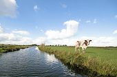 Typical wide dutch landscape with meadows, water and cloudscapes and cows poster