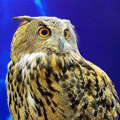 Beautiful Eurasian Eagle Owl, face and breast profile poster
