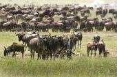 Migration of wildebeest (Connochaetes taurinus) in Serengeti National Park Tanzania poster