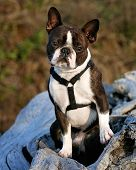 a nice looking boston terrier posing on a piece of driftwood poster