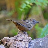Babbler bird Streaked Wren Babbler (Napothera brevicaudata) standing on the log taken in Thailand poster