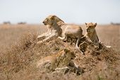 Young male lion resting with his pride in Serengeti, Tanzania Africa. poster