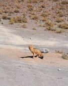 Wild fox in Bolivian altiplano, Potosi area poster