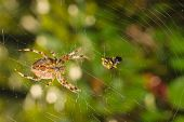 Spider with meal caught in web poster