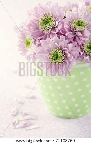 Pink Chrysanthemum Flowers1