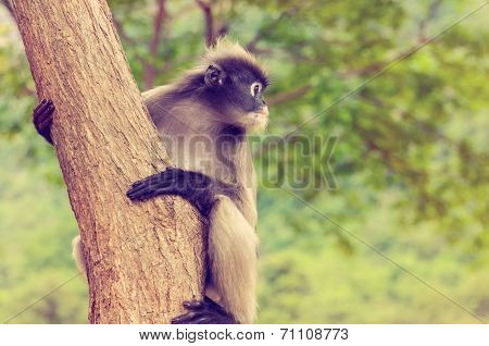 Vintage Dusky Leaf Monkey Or Trachypithecus Obscurus On Tree