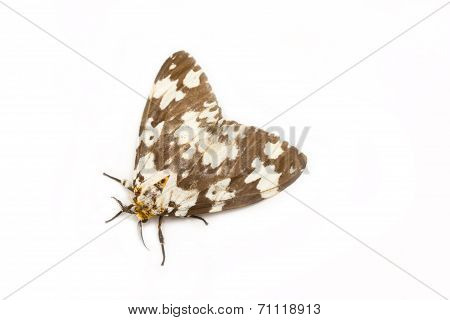 Tussock Moth Butterfly Isolated On White Background.